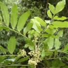 Catuaba Bark Powder
